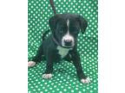 Adopt Nacho a Black - with White Labrador Retriever / Beagle / Mixed dog in