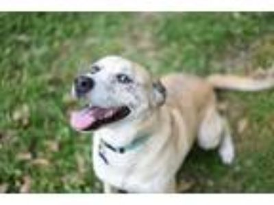 Adopt Arya a Tan/Yellow/Fawn Catahoula Leopard Dog dog in Cedar Park