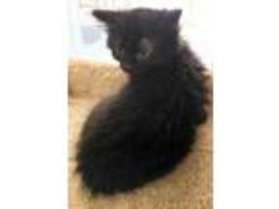 Adopt Seymour a All Black Domestic Shorthair / Domestic Shorthair / Mixed cat in