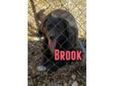 Adopt Brook a Black - with White Labrador Retriever / Australian Shepherd /
