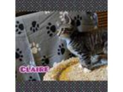 Adopt Claire a Brown Tabby Domestic Shorthair (short coat) cat in Medford