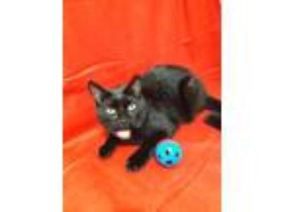 Adopt Austin a Black & White or Tuxedo Domestic Shorthair / Mixed (short coat)