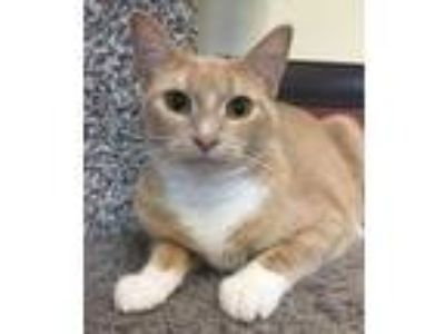 Adopt Midge a Tan or Fawn Domestic Shorthair / Domestic Shorthair / Mixed cat in