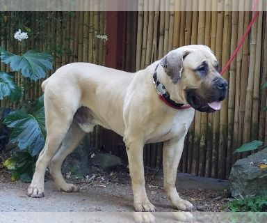 Boerboel PUPPY FOR SALE ADN-130541 - Young Male Boerboel for Adoption