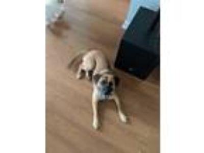 Adopt Harley a Tan/Yellow/Fawn Shepherd (Unknown Type) / Beagle / Mixed dog in