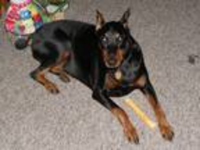 Adopt Nikita a Black Doberman Pinscher dog in Oakdale, PA (25211721)