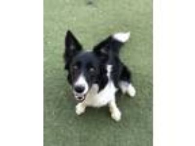 Adopt Liberty a Border Collie