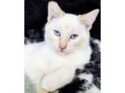Adopt Snowy River - Citrus Heights, CA a Siamese