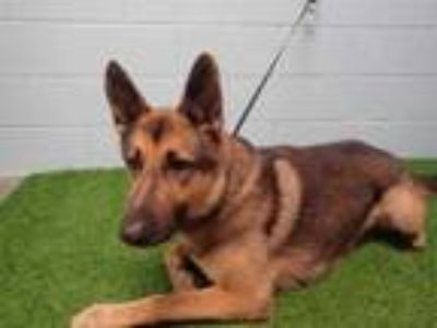 Adopt MAXIMUS a Red/Golden/Orange/Chestnut German Shepherd Dog / Mixed dog in