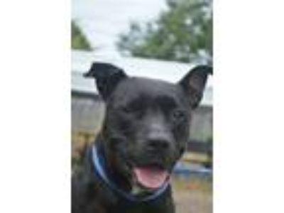 Adopt Wednesday a Pit Bull Terrier