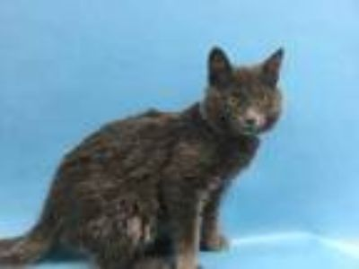 Adopt Able a Gray or Blue Domestic Shorthair / Mixed cat in St.