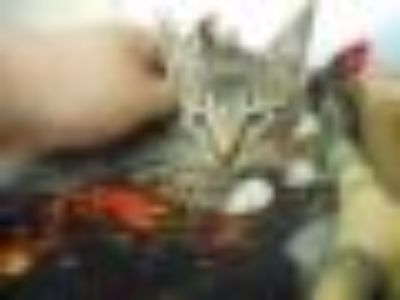 Michael Domestic Short Hair Cat