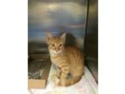 Adopt Pekoe a Domestic Medium Hair, Domestic Short Hair