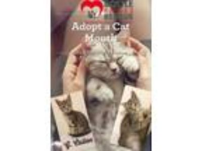 Adopt G. Callen a Domestic Short Hair