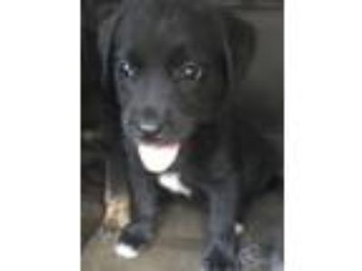 Adopt Ella a Labrador Retriever / German Shepherd Dog / Mixed dog in Leesville