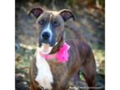 Adopt Kalila a Brindle Boxer / Plott Hound dog in Barnesville, GA (20778081)