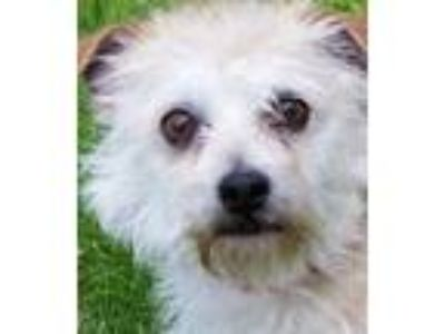 Adopt Pancho a Tan/Yellow/Fawn Terrier (Unknown Type, Small) / Mixed dog in