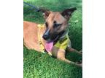 Adopt AVERY a German Shepherd Dog, Labrador Retriever