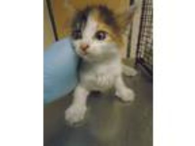Adopt Uma a Domestic Shorthair / Mixed cat in Raleigh, NC (25940284)