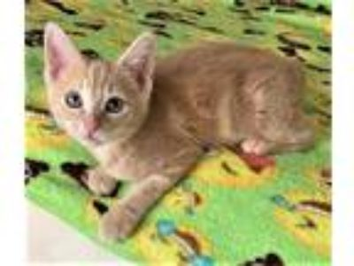 Adopt Kitten Lyric a Tan or Fawn Domestic Shorthair / Mixed (short coat) cat in