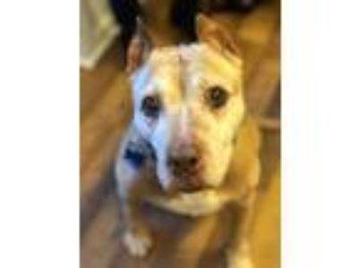 Adopt Gwen a Tan/Yellow/Fawn - with White American Pit Bull Terrier / Mixed