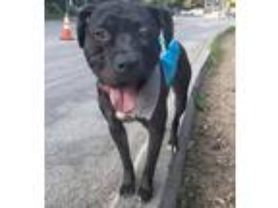 Adopt Shadow a Black - with White Labrador Retriever / Pit Bull Terrier / Mixed