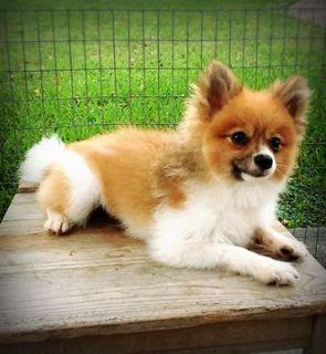 Pomeranian PUPPY FOR SALE ADN-105518 - Male Purebred Pomeranian