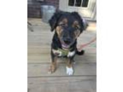 Adopt Appa a Black - with Tan, Yellow or Fawn Retriever (Unknown Type) dog in