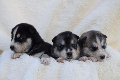 Siberian Husky PUPPY FOR SALE ADN-87100 - Siberian Husky Puppy