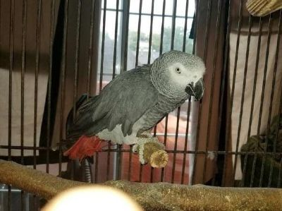 dazzling African gray parrots ready