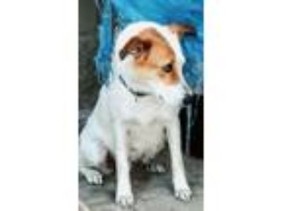 Adopt Juliet a White - with Brown or Chocolate Border Collie / Labrador