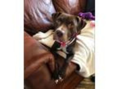 Adopt Eden AKA Quinn a Labrador Retriever / Pit Bull Terrier / Mixed dog in