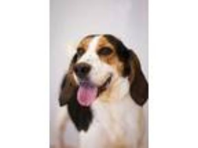 Adopt Willow a White Foxhound / Mixed dog in Davenport, IA (25322106)