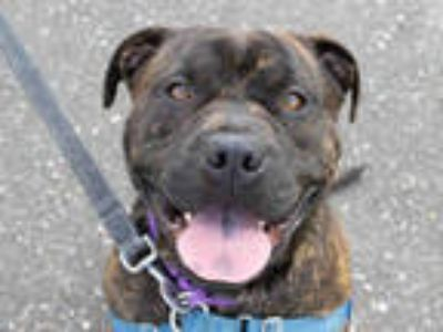 Adopt *GEORGE a Brindle - with White American Pit Bull Terrier / Mixed dog in