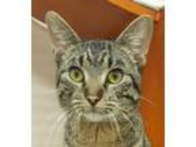 Adopt Spencer a American Shorthair