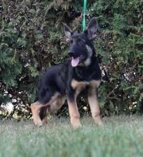 German Shepherd Dog PUPPY FOR SALE ADN-99083 - Amazing AKC German  Shepherd Puppies
