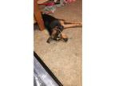 Adopt Demon a Black Afghan Hound / Basset Hound dog in Springdale, AR (25161703)