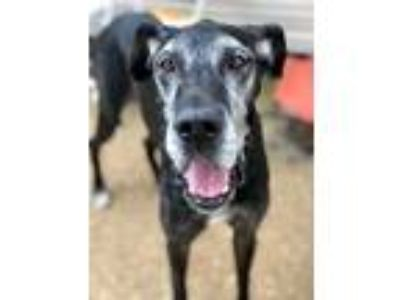 Adopt Caraway a Black - with Gray or Silver Great Dane / Mixed dog in