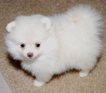 $300, Akc Registered Pomeranian Puppies Available.774 613-2974