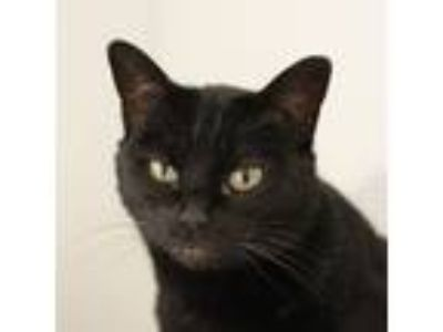 Adopt Solstice a Domestic Short Hair