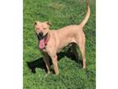 Adopt Tor a Tan/Yellow/Fawn Labrador Retriever / Mixed dog in Heber City