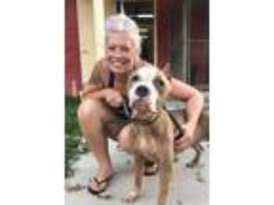 Adopt Zoey a Tan/Yellow/Fawn American Pit Bull Terrier / Mixed dog in Mission