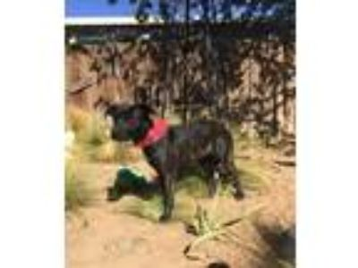 Adopt Rizzo a Brindle Cattle Dog / Labrador Retriever / Mixed dog in Apple