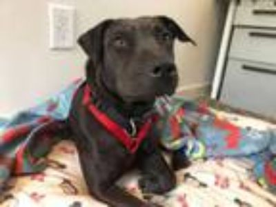 Adopt Meredith, LOVES to Snuggle! a Blue Lacy, Pit Bull Terrier