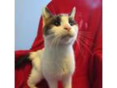 Adopt Aries a White Domestic Shorthair / Domestic Shorthair / Mixed cat in