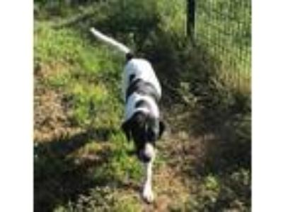 Adopt BB a Black - with White Pointer / Labrador Retriever / Mixed dog in New