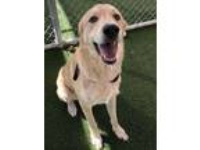 Adopt Bear a Red/Golden/Orange/Chestnut Labrador Retriever / Mixed dog in
