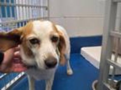 Adopt NOODLES a Basset Hound, Mixed Breed