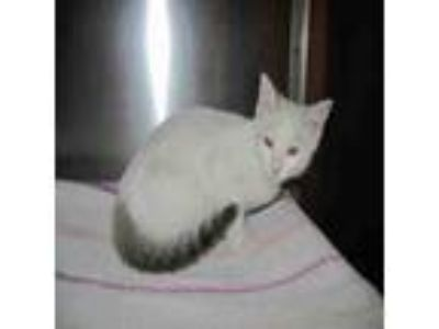 Adopt DOPEY a Domestic Short Hair