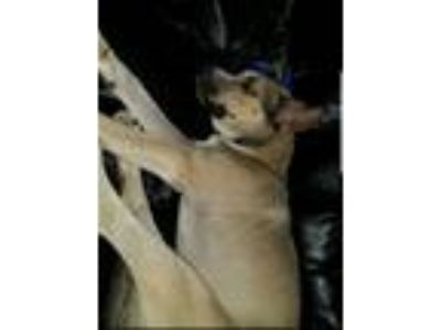 Adopt Skyy a Black - with Tan, Yellow or Fawn German Shepherd Dog / Husky /
